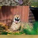 Robotic Cheetah