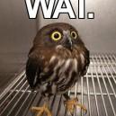 WAT. Owl