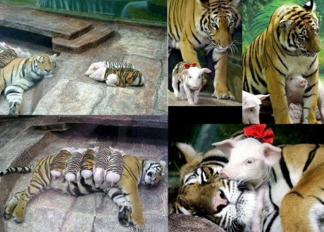 Tigers and Pigs?