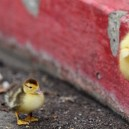 You Can Do It Little Duckling!