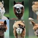 Llama Haircuts
