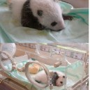 Baby Panda Comes To The World