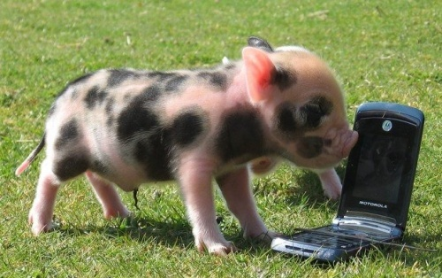 Hello! Yes, This Is Pig