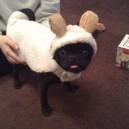Sheep Dog?
