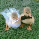 Baby Ducks Getting Married