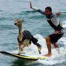 Peru, Where Alpacas Surf