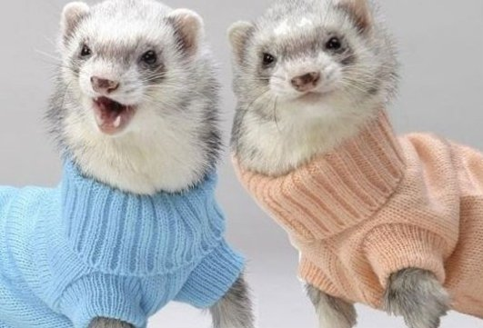 Just Ferrets Wearing Turtlenecks