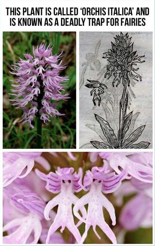 The Plant Orchis Italica