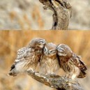Forever Alone Owl