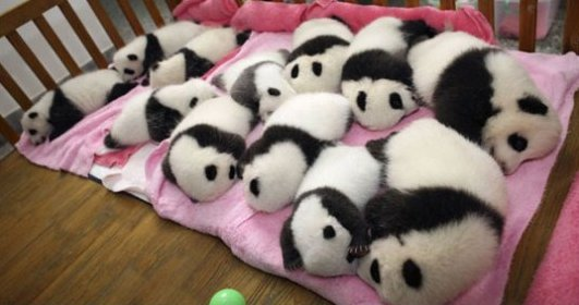 Someone told me you like a dozen baby pandas