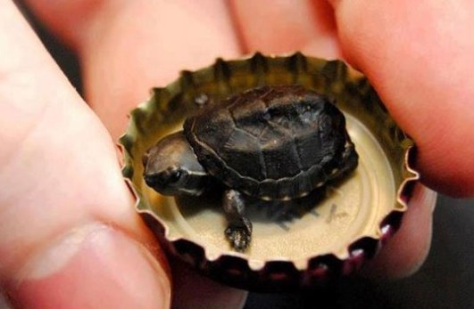 Super Tiny Turtle