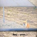 Don't Talk to the Fox