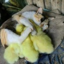 A cat sleeping with baby ducks
