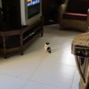 Little kitten loves watching TV