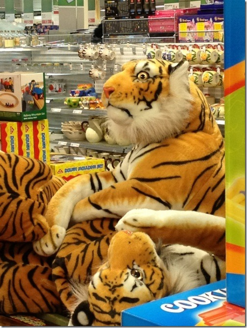This tiger has seen things