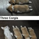 Funny Pictures – Corgis
