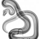 Snake X-ray