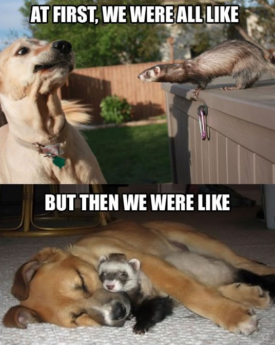MEME – Dog meets ferret