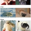 Pugs that look like things