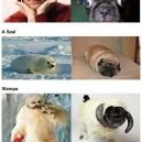 Pugs that look like things
