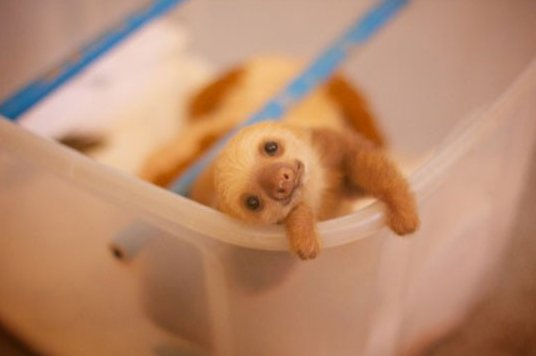 The cutest baby sloth that ever existed