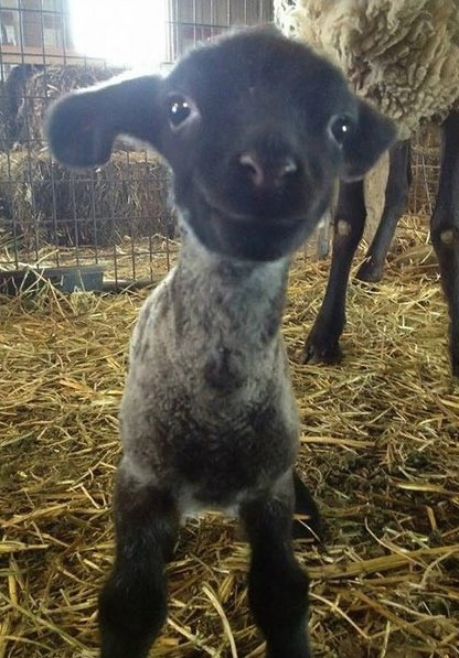 Here is a smiling lamb