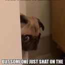 Peeking pug has bad news