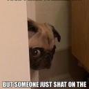 Peeking pug has bad news
