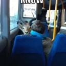 Saw a goat on a bus today