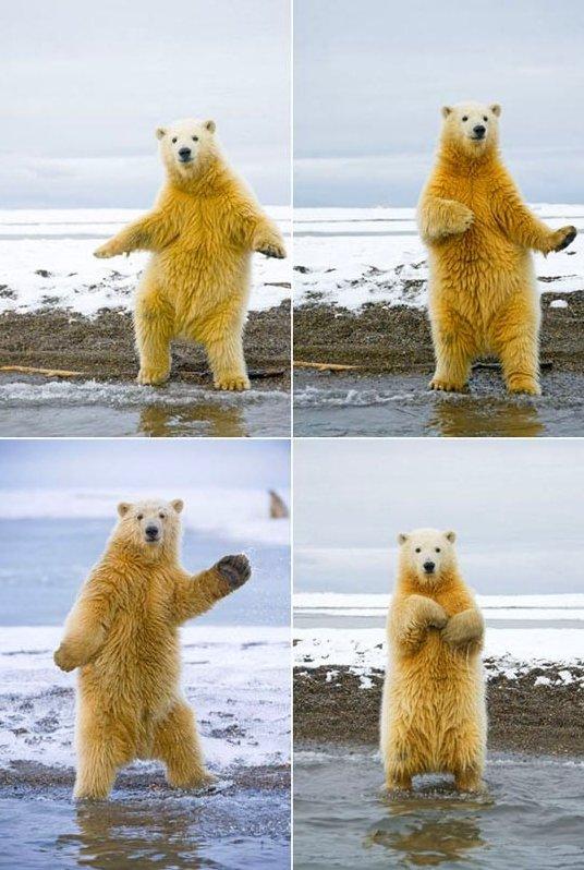 Funny polar bear dancing