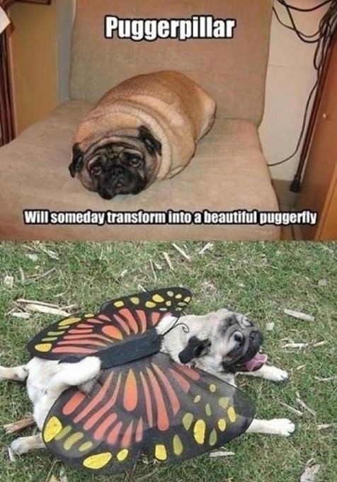 The transformation of a pug