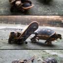 Turtles on skateboards
