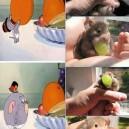 Mouse eats a grape