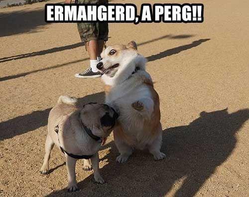 A Pug!