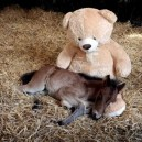 Baby Horse Sleeps With Teddy Bear