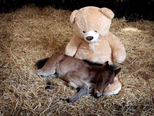 Baby Horse Sleeps With Teddy Bear