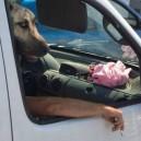 Smoking Dog Rides Shotgun