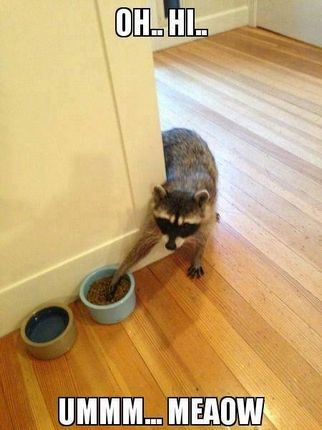Sneaky Raccoon Steals Cat Food