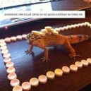 Put candy on my gecko