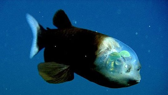 The Barreleye fish, the only creature with a transparent head