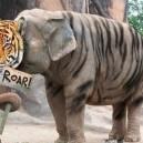 Trust me I'm a tiger