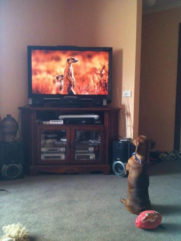 Dog Copies TV Animals