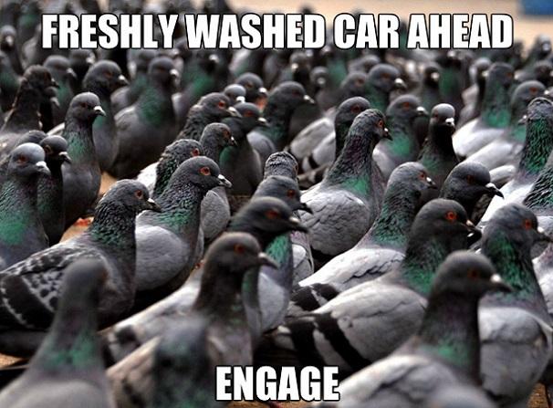Pigeons MEME