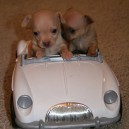 Puppies Go For a Drive