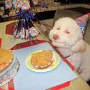 Birthday Dog Enjoys Cookie