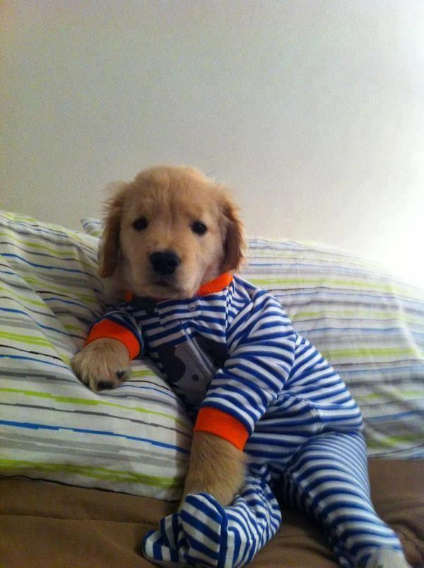 Dog Wears Favorite Pajamas