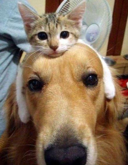 Kitten hairband
