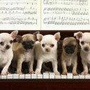 Puppies Playing Piano