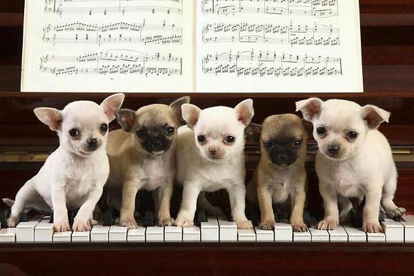 Puppies Playing Piano