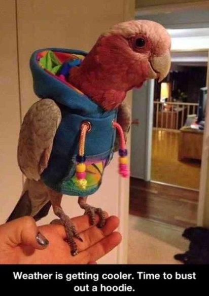 Parrot in hoodie